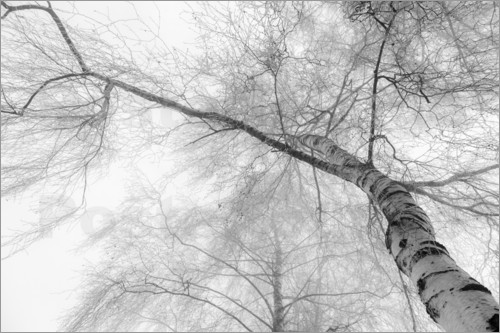 Hannes Cmarits - birch in the fog - black and white