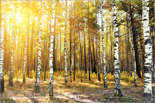 birch trees in a autumn forest
