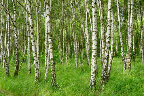 Atteloi - Birch forest