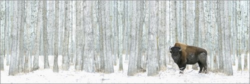Poster Buffalo Standing In Snow Among Poplar Trees
