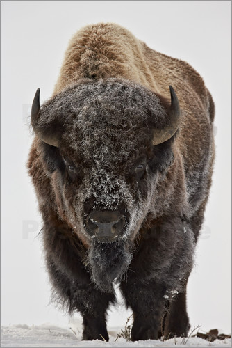 Poster Bison in winter