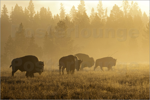 Poster Bison in fog