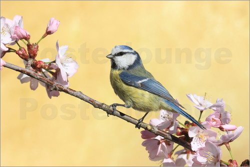 Uwe Fuchs - Blue tit on a branch of cherry