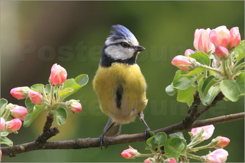 Poster Blue Tit on apple blossoms