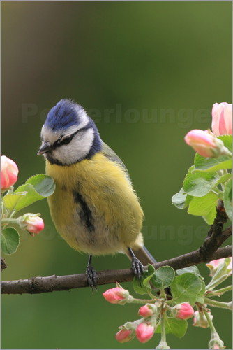 Poster Blue Tit with Apple Blossoms