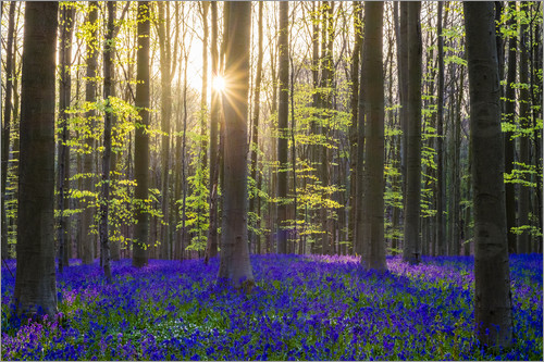 Jason Langley - Bluebell flowers (Hyacinthoides non-scripta) carpet hardwood beech forest in early spring, Halle, Vl