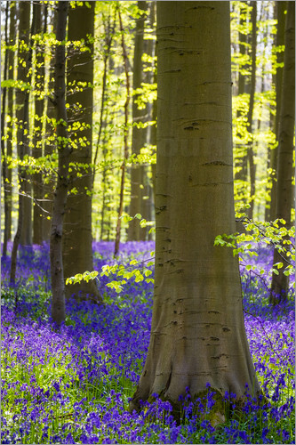 Poster Bluebell flowers (Hyacinthoides non-scripta) carpet hardwood beech forest in early spring, Halle, Vl
