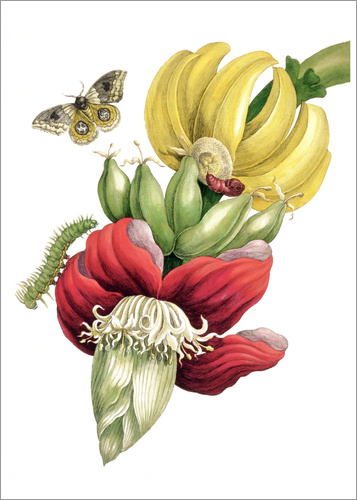Poster Flowering banana and Automeris
