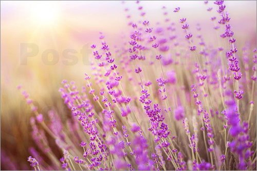 Poster blooming lavender