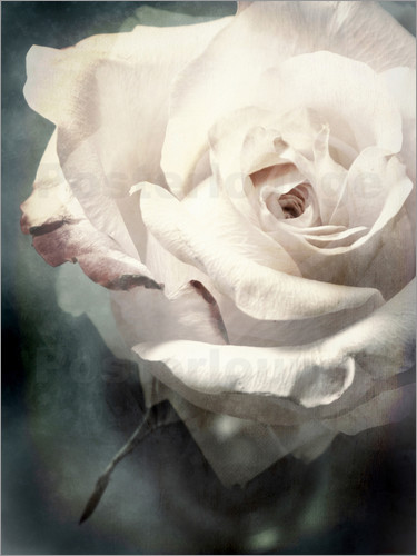 Poster Flower of a white rose