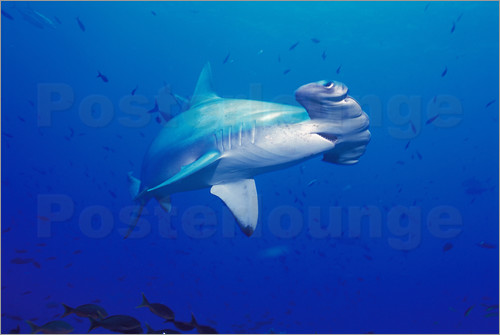 Poster Scalloped Hammerhead