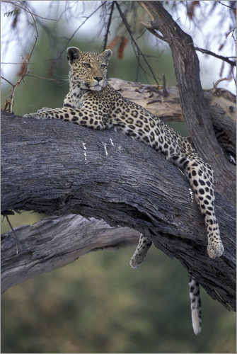 Poster Botswana, Moremi Game Reserve, Adult Female Leopard (Panthera pardus) rests on tree limb near Khwai