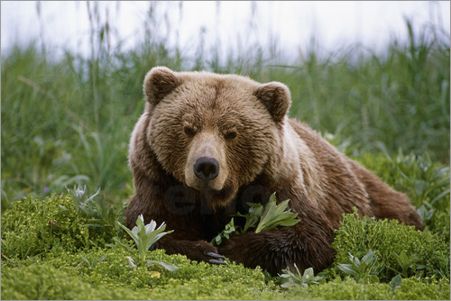 Doug Lindstrand - Brown bear in the grass