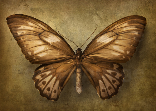 Poster Brown butterfly