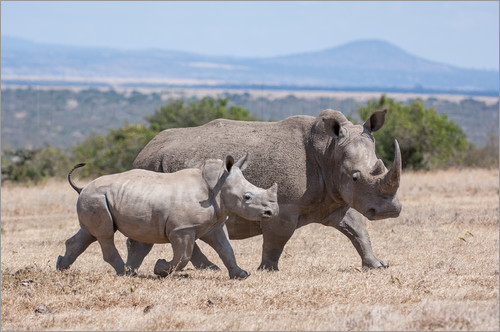 Poster White rhino with baby