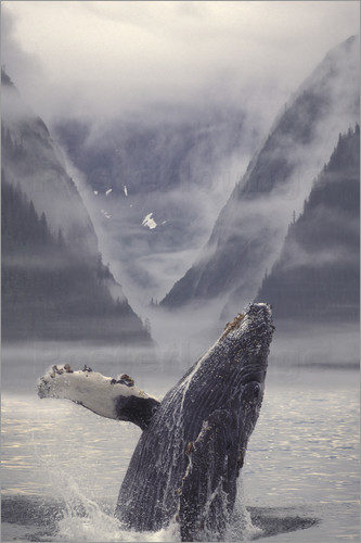 Poster Humpback whale during emerge
