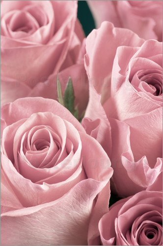 Poster Bunch of roses in pale pink