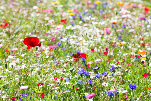 Suzka - Colorful Meadow