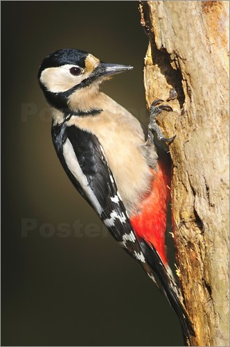 Colin Varndell - Great spotted woodpecker