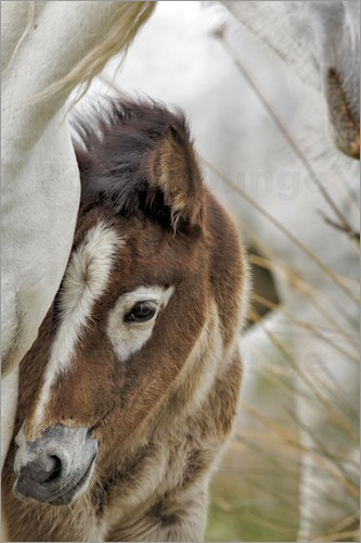 Adam Jones - Camargue horse foal, southern France