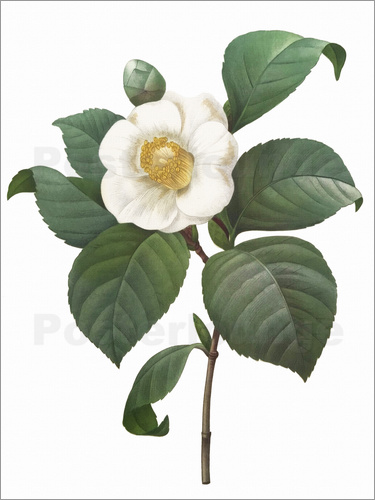 Poster Camellia