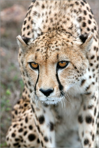 Fiona Ayerst - Cheetah approaching prey, Western Cape, South Africa, Africa