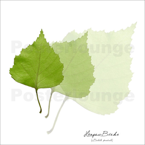 Poster Collage with green birch leaves