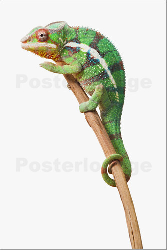 Corey Hochachka - Colourful Panther Chameleon (Furcifer pardalis) on a white background, St. Albert, Alberta, Canada