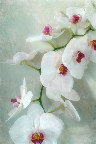 Poster Composition of a white orchid with transparent texture