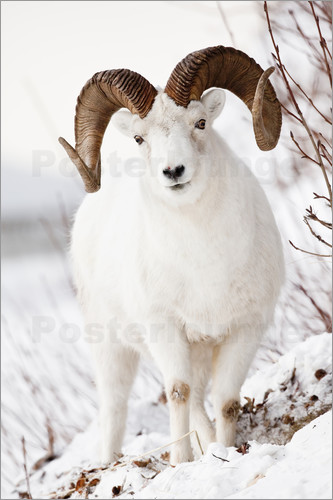 Poster Curl Dall Sheep
