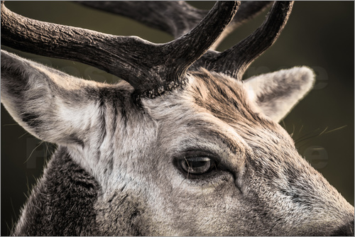 Christian Krammer - Fallow Deer Portrait