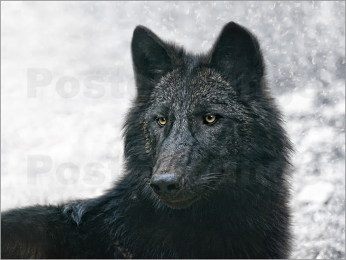 Poster the black wolf