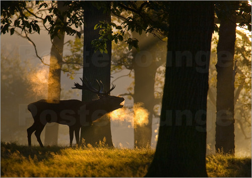Alex Saberi - The side view of a roaring red deer, Cervus elaphus, on cold mornings