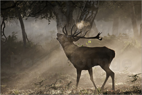 Alex Saberi - The side view of a bracket deer, Cervus elaphus, the brühlt in the forest