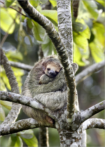 Poster Three-toed sloth rests in a tree