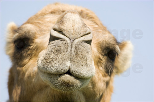 Power and Syred - Dromedary camel