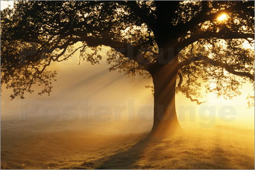 Poster Oak tree at sunrise
