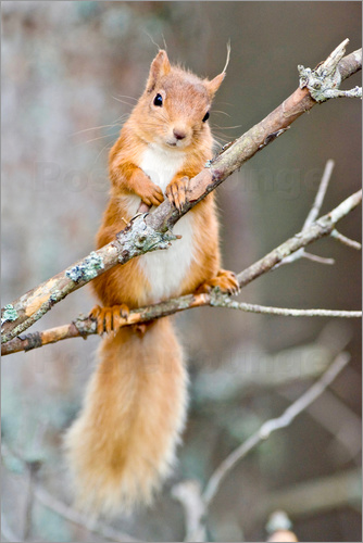 Poster Red squirrel on a branch