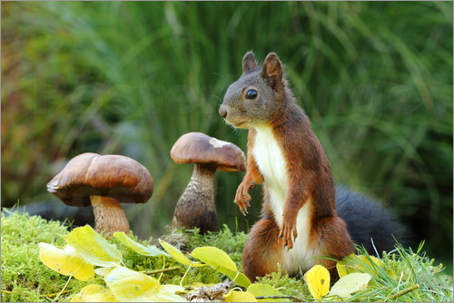 Uwe Fuchs - Squirrel on fodder search