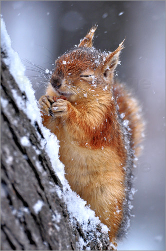Poster Squirrel in winter