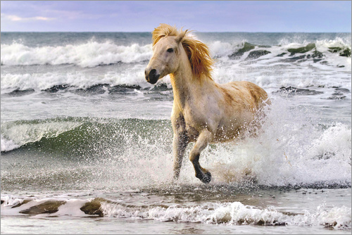 Poster A Camargue horse running in the surf