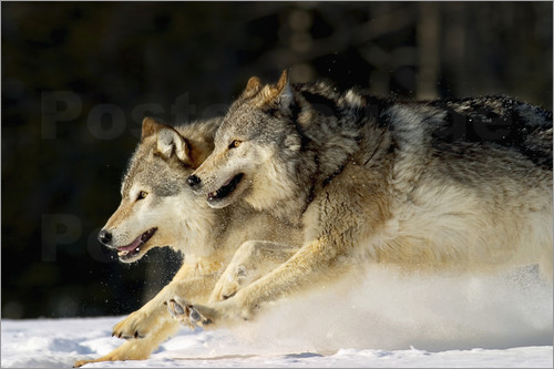 Poster Pack Of Grey Wolves Running Through Deep Snow