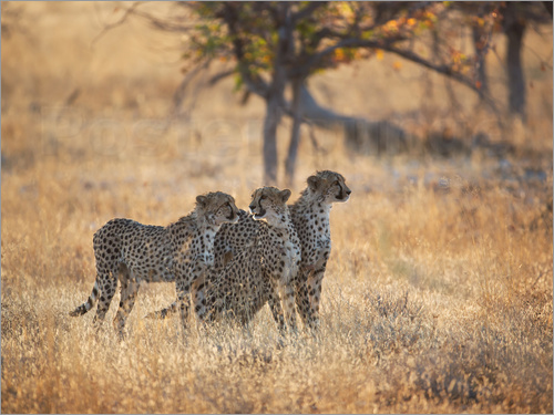 Alex Saberi - A group of Cheetah, Acinonyx jubatus, on the lookout for a nearby leopard in Namibia's Etosha N