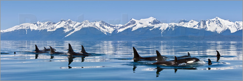 Poster A group of Orcas