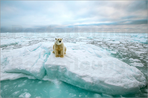 Peter J. Raymond - Polar bear sitting on a ice floe