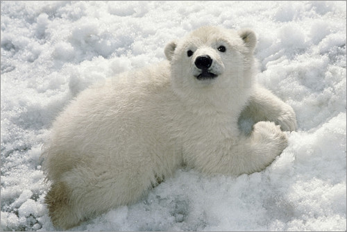 Mark Newman - Young polar bear in the snow
