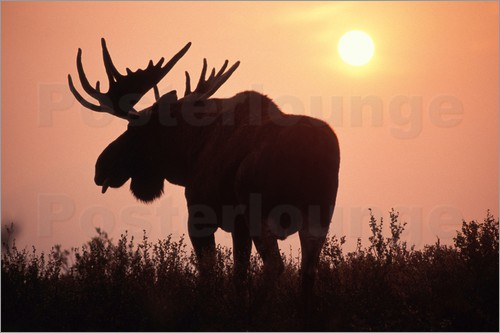 Steve Kazlowski - Moose at sunset