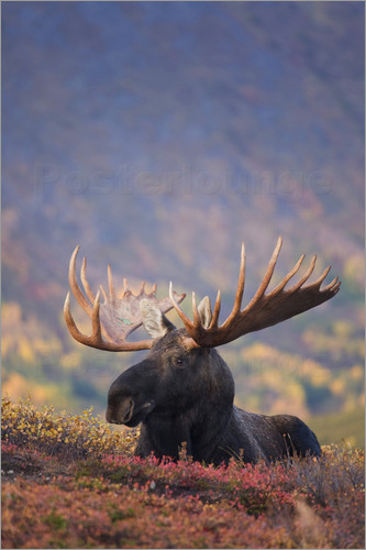 Poster Moose bull in a pasture