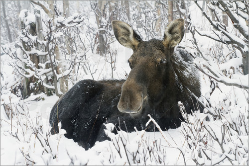 Poster Cow elk in a winter forest