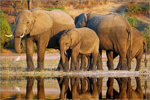 wiw - Elephants at a river, Africa wildlife